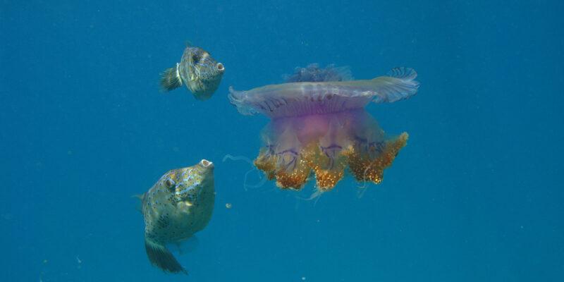 Medusa fihalhoi